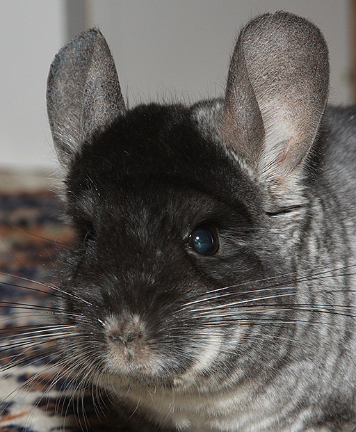 Maxi_Chinchilla